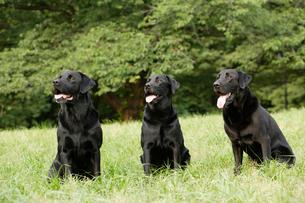 公園にいる3匹のラブラドールレトリーバーの写真素材 [FYI03361559]