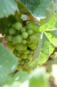 緑色のブドウの写真素材 [FYI03361973]