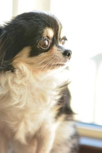 犬 チワワ 窓際 見つめるの写真素材 [FYI03362669]