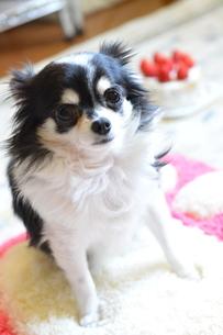 犬 チワワ デコレーションケーキの写真素材 [FYI03362705]