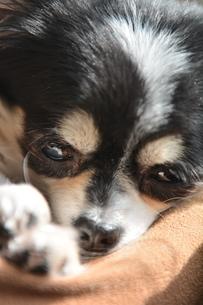 犬 チワワ 眠いの写真素材 [FYI03362844]