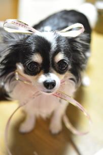 犬 チワワ リボンの写真素材 [FYI03363111]