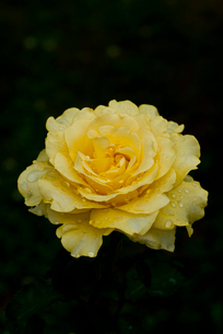 バラの写真素材 [FYI03363385]