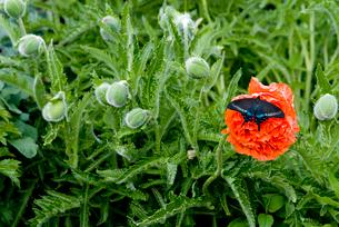 ポピーにとまる蝶の写真素材 [FYI03363388]