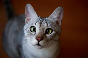 飼い主を見つめる猫の写真素材 [FYI03363433]