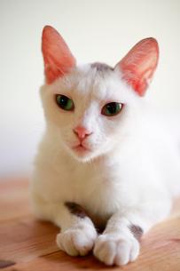 ぼんやりする猫の写真素材 [FYI03363434]