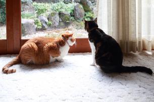 縁側の窓から庭を見つめる二匹の猫の写真素材 [FYI03363438]