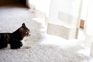 やわらかい日差しを受ける猫の写真素材 [FYI03363446]