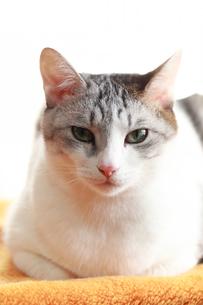 じっと見つめる猫の写真素材 [FYI03363447]