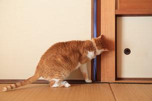 和室のふすまを開けようとする猫の写真素材 [FYI03363448]