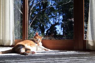 縁側でくつろぐ猫の写真素材 [FYI03363449]