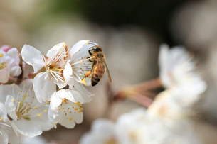 桜の蜜を集めるミツバチの写真素材 [FYI03363455]