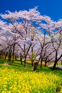 青空の下で武蔵丘陵森林公園に咲く満開の桜と菜の花の写真素材 [FYI03363478]