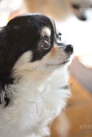 犬 チワワ 見つめるの写真素材 [FYI03363539]