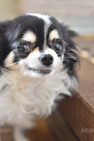 犬 チワワ カメラ目線の写真素材 [FYI03363709]