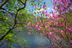 奥日光のトウゴクミツバツツジと湯ノ湖の写真素材 [FYI03363983]