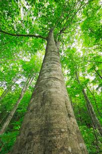 新緑のブナの大木の写真素材 [FYI03364055]