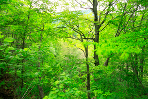 広葉樹林の新緑の写真素材 [FYI03364102]