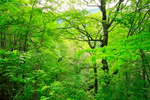 広葉樹林の新緑の写真素材 [FYI03364106]