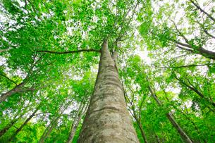 新緑のブナの大木の写真素材 [FYI03364161]