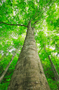 新緑のブナの大木の写真素材 [FYI03364166]