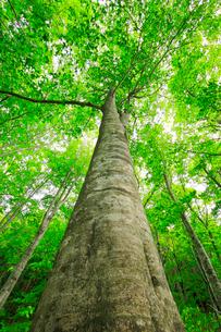 新緑のブナの大木の写真素材 [FYI03364172]