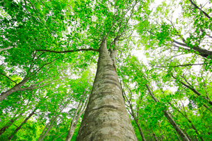 新緑のブナの大木の写真素材 [FYI03364207]