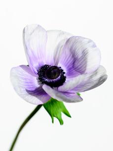 アネモネ白紫の写真素材 [FYI03364502]