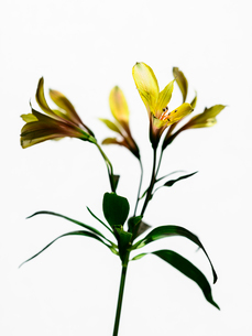 アルストロメリア黄の写真素材 [FYI03364535]