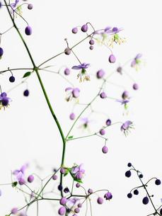 シキンカラマツ紫の写真素材 [FYI03364572]