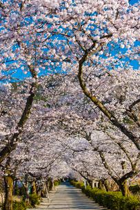 秋月杉の馬場通りの桜の写真素材 [FYI03364575]