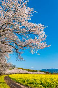 西都原古墳群の桜並木の写真素材 [FYI03364582]
