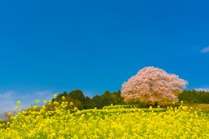 馬場の山桜の写真素材 [FYI03364605]