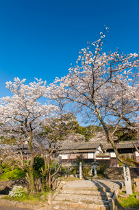 春光寺の桜の写真素材 [FYI03364622]