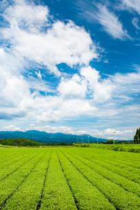 霧島茶畑3の写真素材 [FYI03364633]