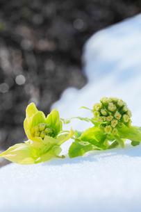 フキノトウに残雪とせせらぎの写真素材 [FYI03364719]