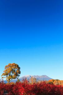 木曽馬の里,コナラの一本木とブル-ベリ-の紅葉に朝の御嶽山の写真素材 [FYI03364793]