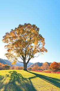 木曽馬の里,コナラの一本木に朝日と紅葉の木立の写真素材 [FYI03364800]