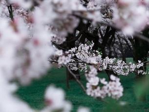 満開の桜の写真素材 [FYI03364933]