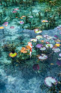 モネの池に浮かぶ蓮の葉と泳ぐ鯉の写真素材 [FYI03364939]