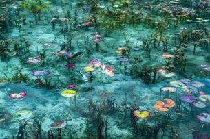 モネの池に浮かぶ蓮の葉と泳ぐ鯉の写真素材 [FYI03364940]
