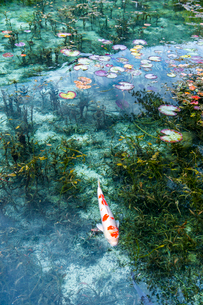 モネの池に浮かぶ蓮の葉と泳ぐ鯉の写真素材 [FYI03364941]