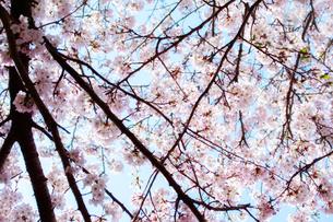 晴れた日の満開の桜の写真素材 [FYI03364952]