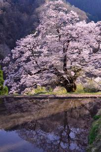 駒つなぎの桜、2018の写真素材 [FYI03364995]