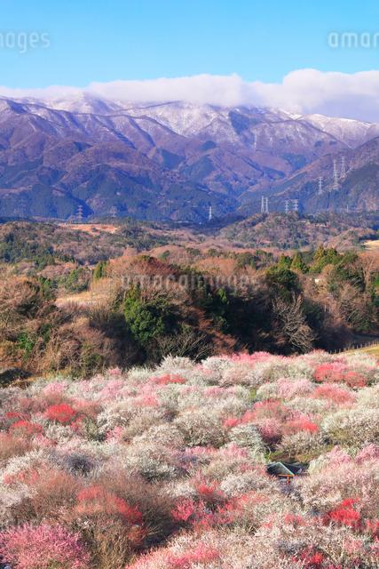 いなべ市農業公園 花咲く梅林公園と残雪の鈴鹿山脈の写真素材 [FYI03365022]