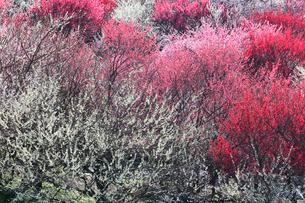 いなべ市農業公園 花咲く梅林公園の写真素材 [FYI03365026]
