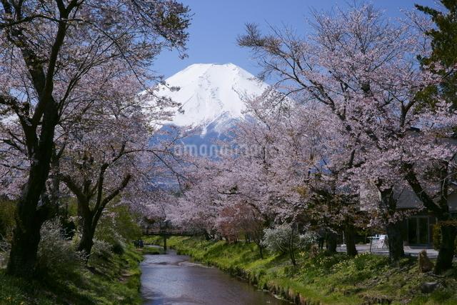 富士山と桜並木と小川の写真素材 [FYI03365051]