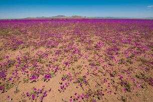 アタカマ砂漠の花園・デシエルトフロリドの写真素材 [FYI03365056]