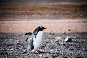 ジェンツーペンギンの写真素材 [FYI03365136]