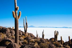 ウユニ塩湖のサボテン島 インカワシの写真素材 [FYI03365164]